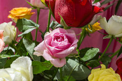 Pink and red roses with water drops Stock Image