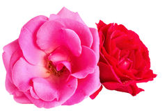 Pink and red roses on a white background Stock Photo