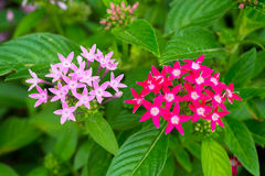 Pink & Red Star Cluster Flowers Royalty Free Stock Image