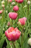 Pink red tulip, netherlands Stock Photo