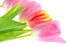 Pink and red tulips Stock Images