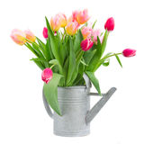 Pink and red tulips bouquet in watercan Stock Images