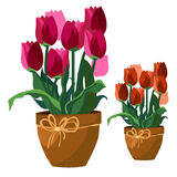Pink and red tulips in clay pot, flowers isolated vector illustration