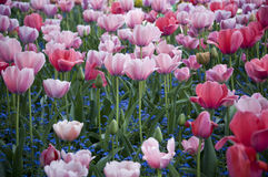 Pink and red tulips in Giverny. Beautiful scene just of some pink and red tulips in Giverny Stock Photography