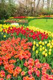 Pink and Red tulips. Yellow and Red growing tulips and narcissus flowers in garden Keukenhof, Netherlands Royalty Free Stock Image
