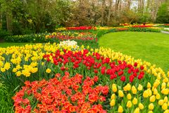 Pink and Red tulips. Yellow and Red tulips and narcissus in garden Keukenhof, Netherlands Royalty Free Stock Images