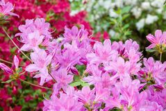 Pink Red and White Colored Azalea Flowers in Bloom stock images