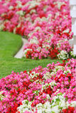 Pink red and white flowers. Close-up vertical view of bed of pink, red, and white flowers with green grass Royalty Free Stock Photography
