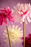 Pink, red and white flowers Royalty Free Stock Photography