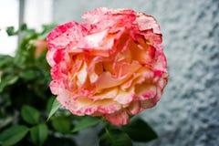 Pink red white rose blooming urban gardening. Pink red white rose blooming in summer on balcony Stock Photo