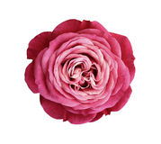 Pink-red-white Rose Flower. White Isolated Background With Clipping Path. Nature. Closeup No Shadows. Stock Photo