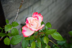 Pink red white rose side view with concrete wall. Pink red white rose side view with grey concrete wall Royalty Free Stock Images