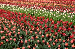 Pink red and white tulips, netherlands Stock Photo
