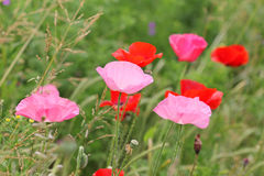 Pink and red wild poppy flowers Stock Photos