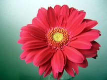 Pink-red with Yellow Center Gerbera Close up. Pink-red with Yellow Center Gerbera Flower Top View Close up on Green-Blue Background Stock Image