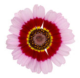 Pink with red and yellow chrysanthemum. Royalty Free Stock Photo