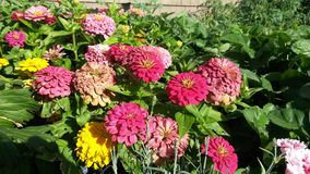 Pink, Red, and Yellow Chrysanthemums Stock Photos