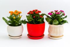 Pink, red and yellow kalanchoe in pot on light background Royalty Free Stock Images