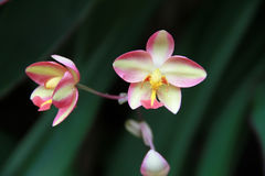 Pink red and yellow orchids are on the green black nature backgr Stock Photo