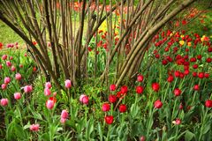 Pink, red and yellow tulips and a bush in a garden royalty free stock photos