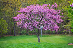 Pink Redbud Tree Royalty Free Stock Images