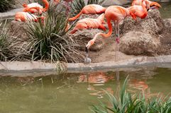 The pink flamingo or Greater flamingo is a large bird. Detail of a small cue from a mother. royalty free stock photo