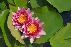 Pink Rene Gerard water lily stock images