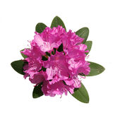 Pink rhododendron Stock Images