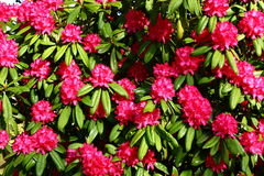 Pink rhododendron. Huge pink Pink rhododendron bush in the sun stock photography