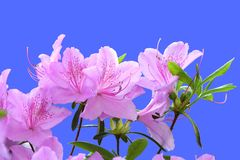 Pink Rhododendron. Closeup of branch of blooming pink Rhododendron isolated on blue background royalty free stock photography