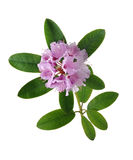 Pink Rhododendron or Azaleas. Isolated in a white background (extended depth of field) total focus Royalty Free Stock Photo