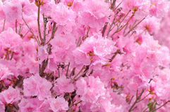 Pink Rhododendron Background Royalty Free Stock Photography