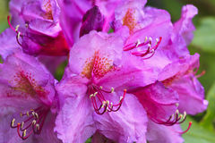 Pink Rhododendron in Bloom. Pretty pink Catawba Rhododendron in bloom in the North Carolina mountains in the spring stock image