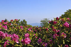 Pink Rhododendron Blooming Royalty Free Stock Images