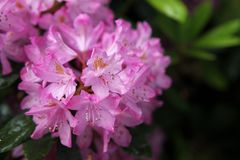 Pink rhododendron blooming in the garden. royalty free stock photos