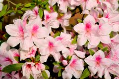 Pink Rhododendron blossom Stock Photo