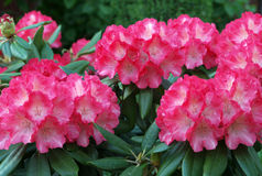 Pink rhododendron blossoms stock image