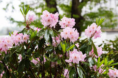 Pink rhododendron blossoms Stock Photography