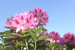 Beautiful Rhododendron in a blue sky Royalty Free Stock Image