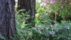 Pink rhododendron bush in bloom behind fern in forest setting. Forest ferns and blooming rhododendron in spring stock video