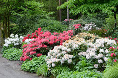 Pink Rhododendron bush bloom in springtime. path leading through Stock Image