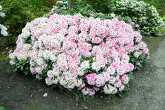 Pink Rhododendron bush bloom in springtime. path leading through Royalty Free Stock Photo