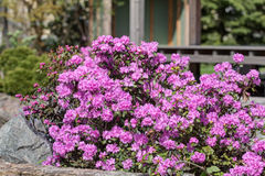 Pink rhododendron bush Royalty Free Stock Images
