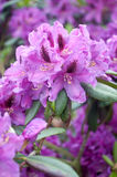 Pink Rhododendron Stock Photography