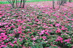 Pink rhododendron field Royalty Free Stock Images