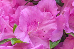 Pink rhododendron flower Royalty Free Stock Images