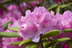 Pink rhododendron flower. Beautiful rhododendron flower blooming in spring Stock Images