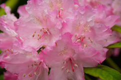 Pink rhododendron flower stock photo