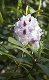 Pink rhododendron flower. Exotic flower. Royalty Free Stock Photos