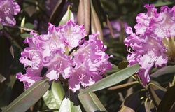 Pink rhododendron flower. Exotic flower. Stock Photography